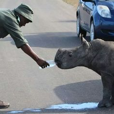 #Ranger giving his water to the newly orphaned baby #rhino found near a road after his mom was poached.
