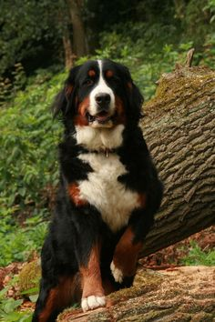 Bernese Mountain Dog- I feel like Pippa will look just like this when she is bigger via @KaufmannsPuppy