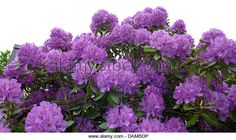 Catawba Rhododendron Rhododendron Catawbiense Stock Photos ...