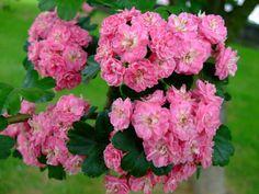 crataegus laevigata 'chapel' Flowering Plants, Planting Flowers, Climbers, Yard Ideas, Shrubs, Bloom, Trees, Gardening, Videos