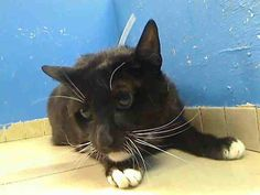 5 year old Lisa needs out of NYCACC NOW!!! TO BE DESTROYED 5/23/13 Manhattan Center  My name is LISA. My Animal ID # is A0964623. I am a spayed female black domestic sh mix. The shelter thinks I am about 5 YEARS old.  I came in the shelter as a SEIZED on 05/08/2013 from NY 10027, owner surrender reason stated was OWN EVICT.