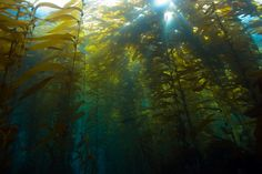 kelp, Yup this beauty is an herb too! Herb of the Sea!