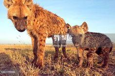 Spotted hyena (Crocuta crocuta) adolescent and curious pup -wide angle perspective-, Maasai Mara National Reserve, Kenya. © Anup Shah / age fotostock - Stock Photos, Videos and Vectors