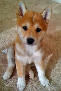 Sushi the Shiba Inu  If someone got me a Shiba Inu, they would forever own my heart. #cuteshibainu