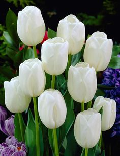 Tulppaani White Dream - Viherpeukalot