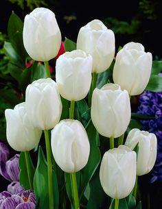 Tulppaani White Dream - Viherpeukalot
