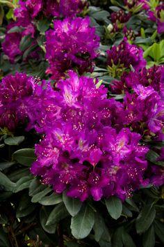 Huskymania Rhododendron - Monrovia - Huskymania Rhododendron