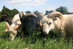 Cet article fait suite au précédent Ouessant Velux . Pour résumer, ce dernier faisait allusion au fait qu'à l'heure où le mouton d'Ouessant (allure ancienne) n'a jamais été aussi abondant, non seulement depuis son retour dans les années 70 mais aussi...