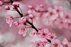 Cherry tree blossoms...simple yet so pretty