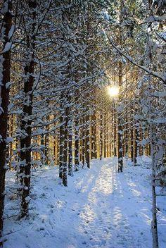 Snow Forest, Sweden