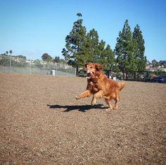 Watch  me go! - Laguna Niguel Pooch Park - Laguna Niguel, CA - Angus Off-Leash #dogs #puppies #cutedogs #dogparks #lagunaniguel #california #angusoffleash