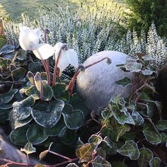 Frost i trädgården