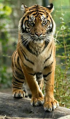 tiger by atsuhiko gatamé on Siberian Tiger, Bengal Tiger, Beautiful Cats, Animals Beautiful, Beautiful Pictures, Tiger Fotografie, Animals And Pets, Cute Animals, Tiger Pictures