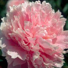 La Pivoine Sarah Bernhardt, une vivace à fleurs doubles très parfumées d'un rose argenté