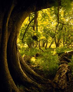 Walking with ancient trees | Environment | The Guardian.