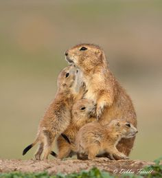 The Family...... A family of Black-tailed Prairie dogs. #gazing through nature's door 4
