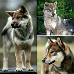 Shikoku Nymeria Japanese Dog Breeds, Japanese Dogs, Beautiful Dogs, Animals Beautiful, Cute Animals, Doggies, Dogs And Puppies, Teacup Pug, Spitz Breeds