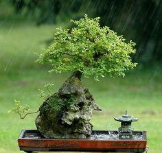 Bonsai tree w/lantern