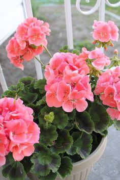 the Coral Geraniums! the Coral Geraniums!the Coral Geraniums! Geranium Plant, Pink Geranium, Geranium Flower, Container Gardening Vegetables, Succulents In Containers, Container Plants, Container Flowers, Vegetable Gardening, Summer Flowers