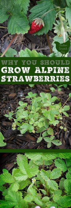Add some charm to your garden with Alpine Strawberries. They're a true perennial you can grow from seed and get berries your first year! | Posted by: SurvivalofthePrepped.com