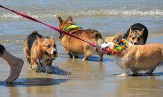 corgi beach day - Google Search