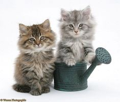 One word: Adorable  Maine Coon Kittens Posing How Cute      Catmoji Wallpaper