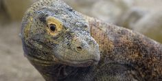 A komodo dragon at the Los Angeles Zoo and Botanical Garden - they are very impressive animals [Photo: Joe Klamar] Cute Reptiles, Reptiles And Amphibians, Big Iguana, Los Angeles Zoo, Komodo Dragon, Animal Magic, Photos Of The Week, Zoo Animals, Animals Beautiful