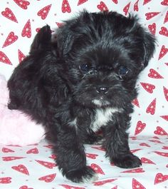 1000+ images about Lillipup Ivy on Pinterest | Maltese ... Black Teacup Maltese Puppies