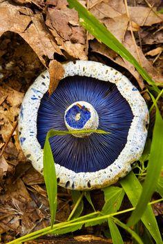 The Blue gills of the Indigo Milk Cap (Lactarius indigo) ~ By Amy Fender