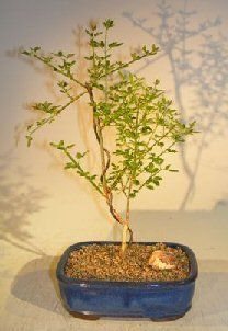 Bonsai Boys Flowering Winter Jasmine Bonsai Tree jasminum nudiflorum >>> Find out more about the great gardening product at the image link.