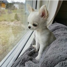 Chiots Teacup Chihuahua, Baby Chihuahua, White Chihuahua, Teacup Pomeranian, Pomeranian Puppy, Cute Baby Animals, Animals And Pets, Funny Animals, Farm Animals