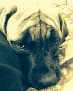 Sweet Jessie! 6 mos. English mastiff