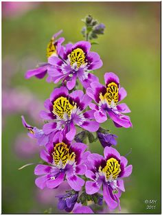 Love these flowers~~Butterfly Flower (Schizanthus, Poor Man's Orchid) by Maria-H~~ Unusual Flowers, Real Flowers, Purple Flowers, Wild Flowers, Beautiful Flowers, Butterfly Flowers, My Flower, Flower Power, Butterflies