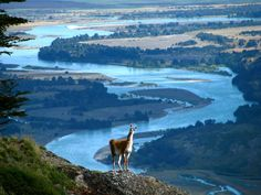 A curious llama observes a photographer in Patagonia