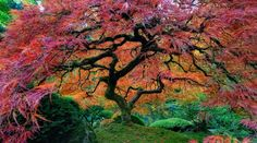 An Autumn Maple located in the Portland Japanese Garden 750 year old sequoia, California