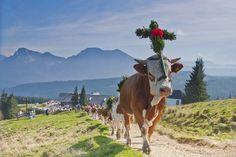 Die Almbauern treiben die mit Fuikln und Daxnbuschn geschmückten Kühe und Kalbinnen beim Almabtrieb auf der Stoißeralm auf dem Teisenberg - Teisendorf/Anger, Berchtesgadener Land, Rupertiwinkel,