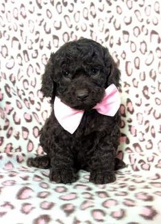 Learn These Cockapoo Breeders Ny Nj Ct {Swypeout}