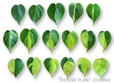 Brazil philodendron leaf gradient