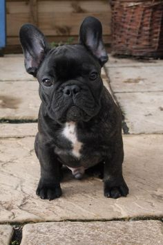 Who's the little handsome devil? You are! French bulldog puppy