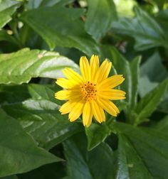 Flores de Naples, FL