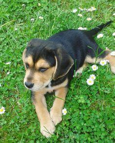Beagle lablador