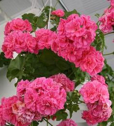 Пеларгония плющелистная PAC Pink Sybil (укорененный черенок)