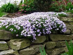Creeping Phlox along the wall