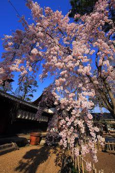 weeping cherry tree Agata-jinja shrine in Kyoto,Japan