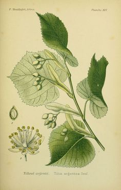 img / drawings trees shrubs / trees and shrubs 0073 drawings silver linden - Tilia argentea.jpg