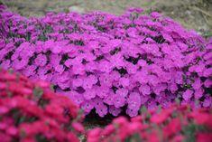 Low-Maintenance Plants and Dwarf Shrubs | DIY Dwarf Shrubs, Smoke Tree, Hardy Geranium, Jasmine Plant, Garden Soil, Gardening, Garden Plants, Low Maintenance Plants, Ground Cover Plants
