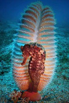 Caballo de mar en una pluma del mar