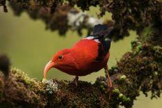 Hawaiian honeycreeper birds at risk of extinction from avian malaria by Supertrooper http://focusingonwildlife.com/news/hawaiian-honeycreeper-birds-at-risk-of-extinction-from-avian-malaria/