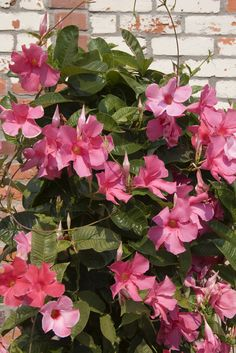 When does mandevilla vine bloom? How long do mandevillas flower? All good questions, and the answers depend on a number of factors. Read this article for specific information about the mandevilla blooming season. Click here to learn more.
