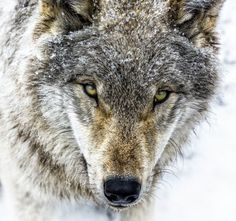 Young Grey Wolf by © Jean-Francois Beaudry